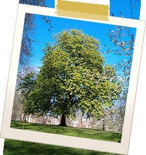 green park - tree in blossom